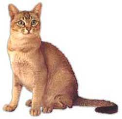 Gato Asiático Humo Atigrado 2 Bichos Raros